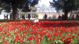 palace tulips